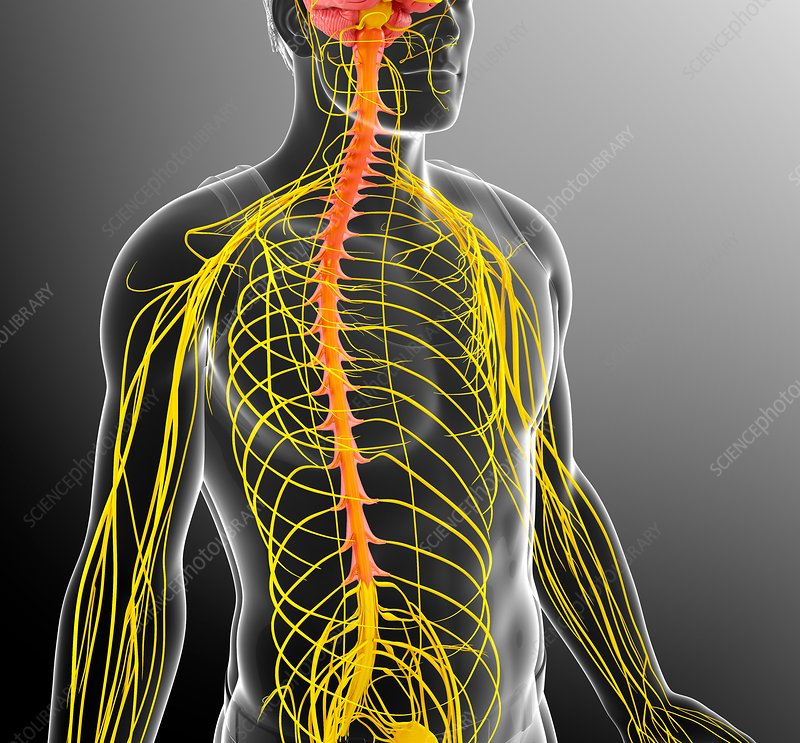 Male nervous system, illustration
