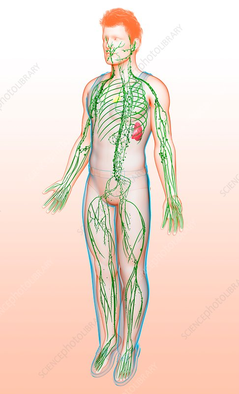 Male lymphatic system, illustration