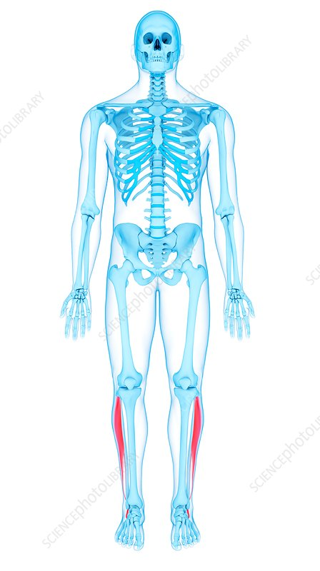 Leg muscles, illustration