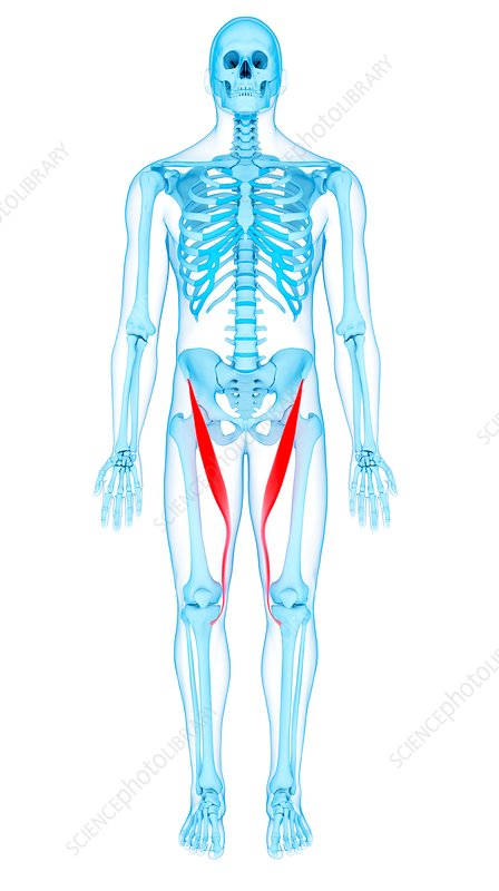 Thigh muscles, illustration