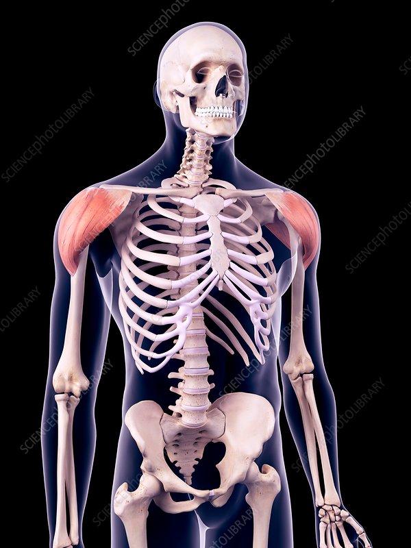 Shoulder muscles, illustration