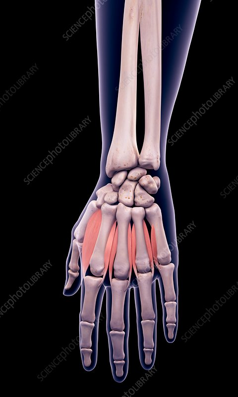 Hand muscles, illustration