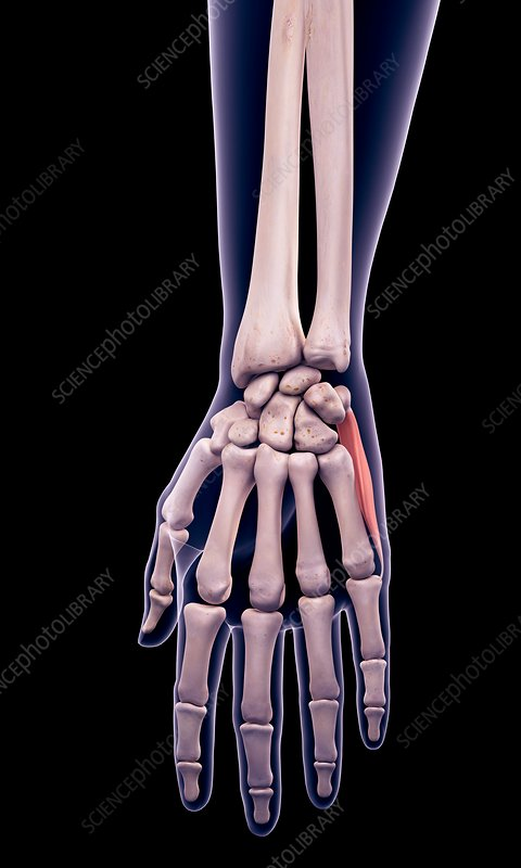 Hand muscle, illustration
