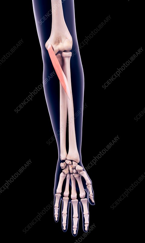 Arm muscle, illustration