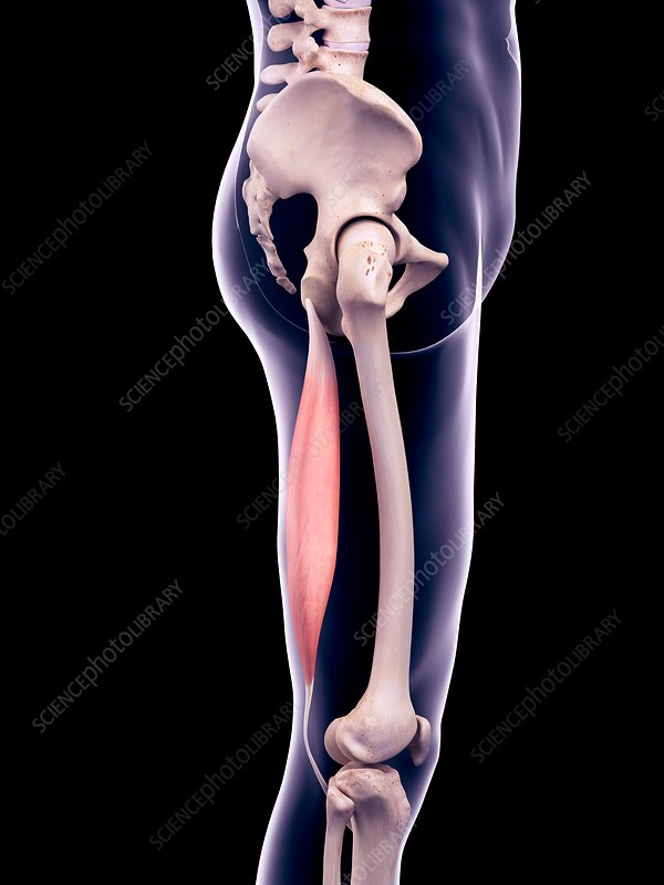Thigh muscle, illustration