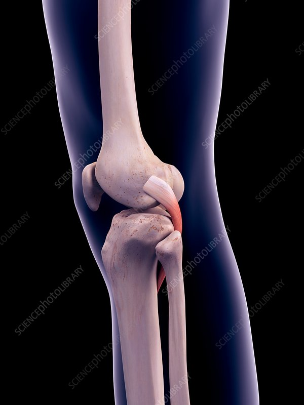 Knee muscle, illustration
