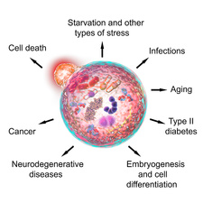 Functions of autophagy, illustration
