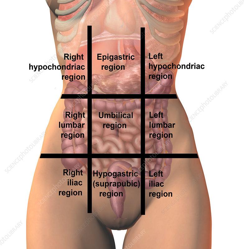Regions of the abdomen, illustration