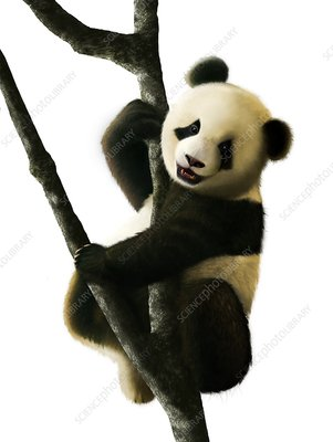 Artwork of Juvenile Giant Panda