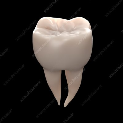 Healthy molar tooth