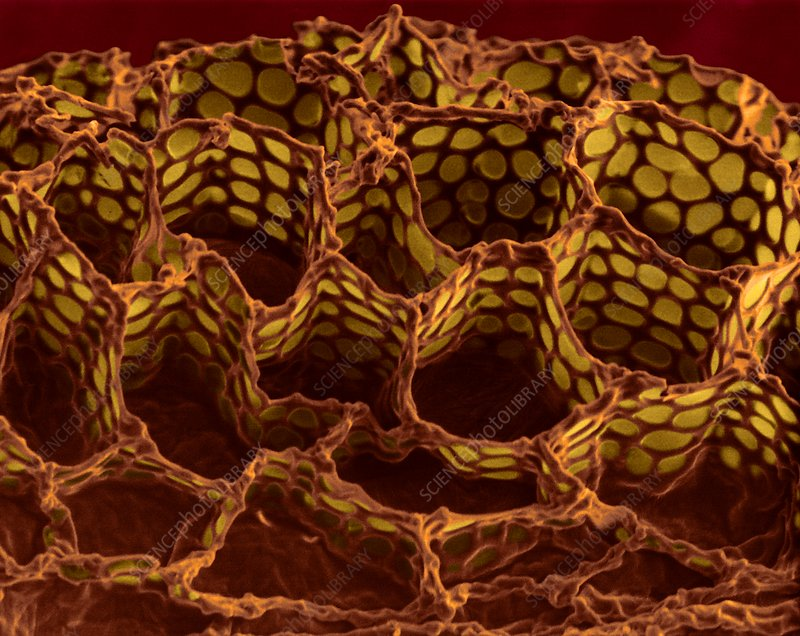 Foxglove seed surface (Digitalis purpurea), SEM