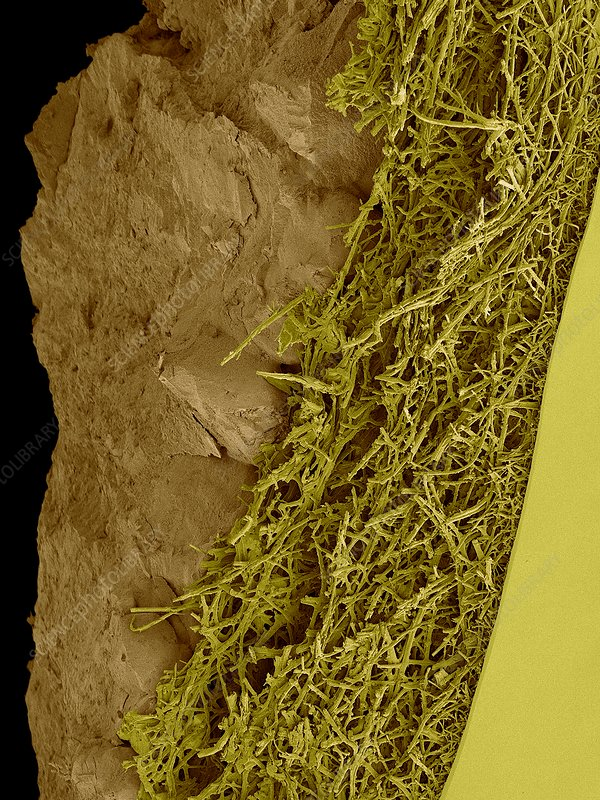 Chicken eggshell cross section, SEM