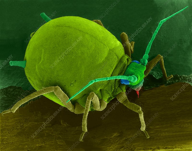 Cotton aphid on a leaf, SEM