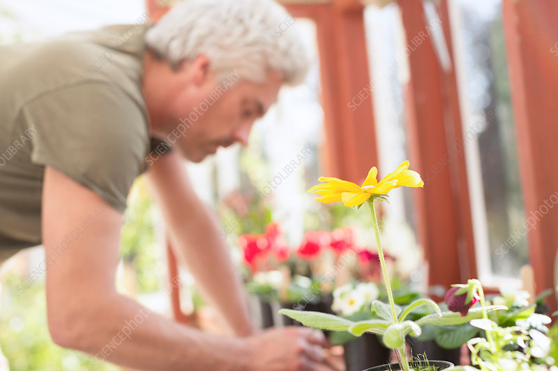 Man gardening potting flowers in greenhouse