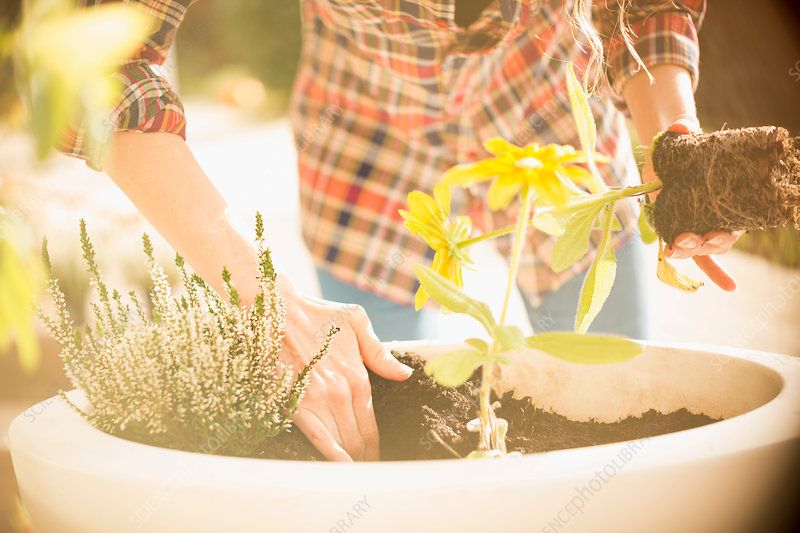 Woman potting plants and herbs in sunny flowerpot