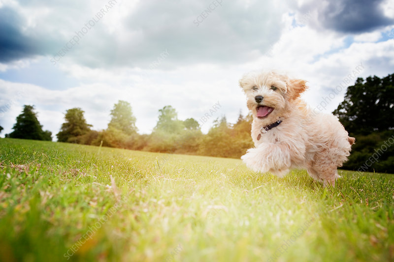 Happy dog running in park grass
