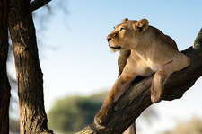 Lioness on branch