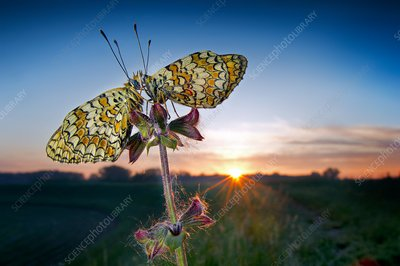 Two butterflies at sunrise