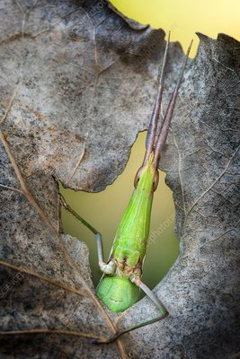 Grasshopper in a hole in the leaf