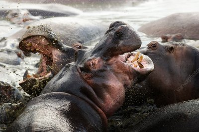 Two hippopotamuses fighting