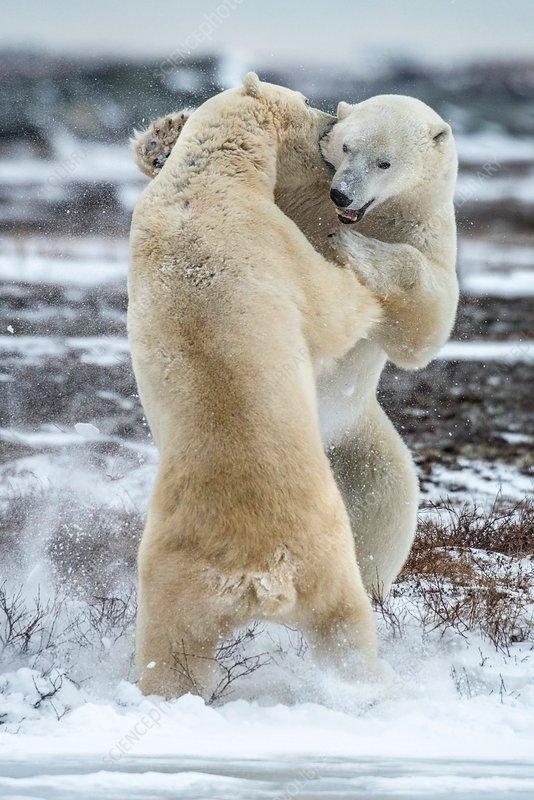Two polar bears fighting