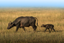 Buffalo mother and baby