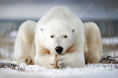 Polar bear lying on ice