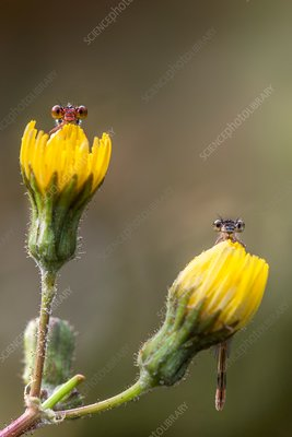 Two damselflies on yellow flowers