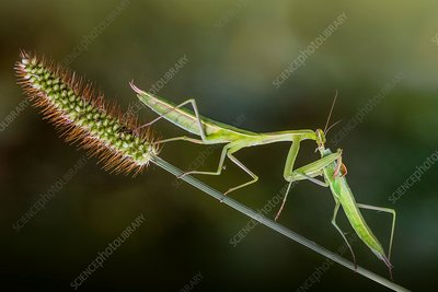 Two male praying mantis