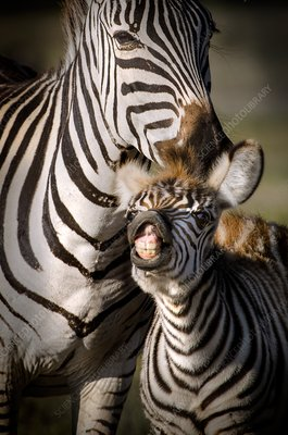 Adult and baby zebra