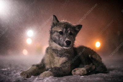 Eskimo dog in snow blizzard
