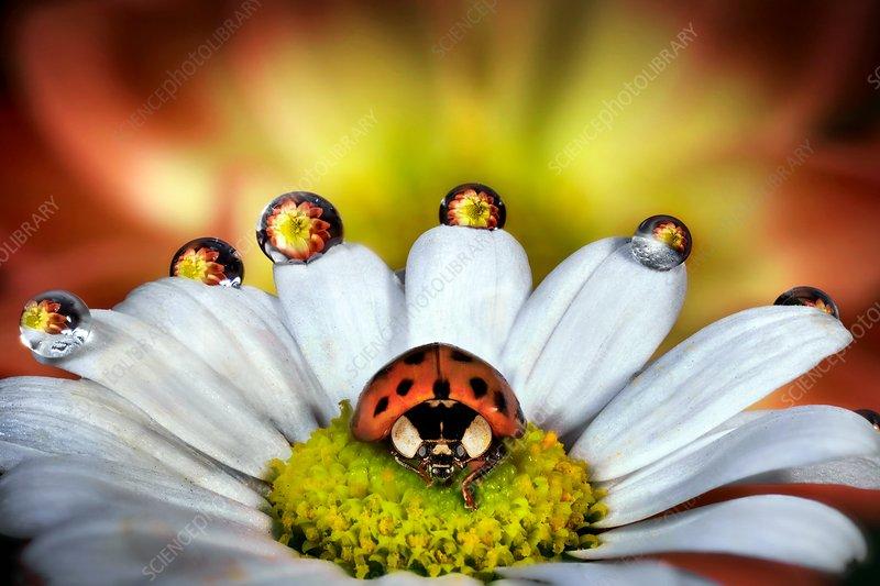 Ladybird on a daisy
