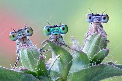Three damselflies on wild plant