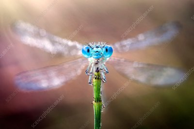 Damselfly with its wings spread out