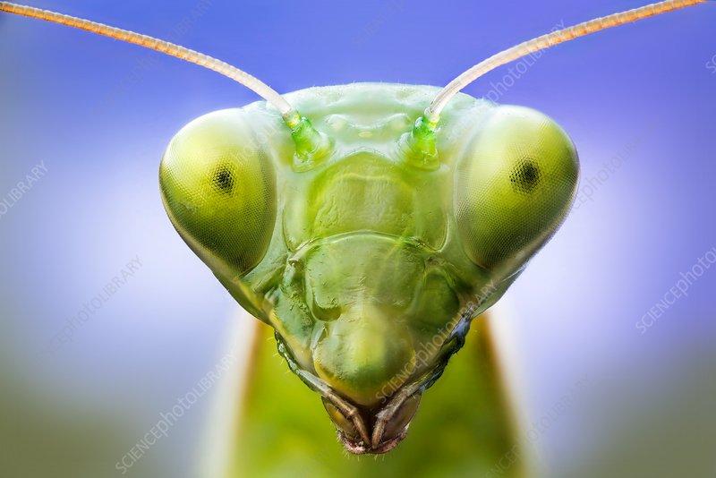 Praying mantis head