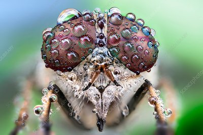 Fly with dew drops on its eyes