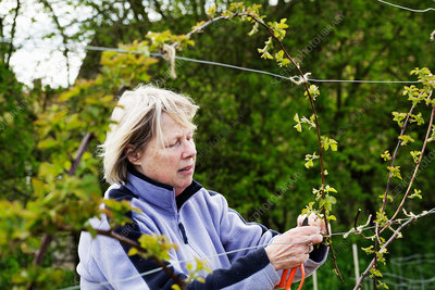 A woman tying in shoots of a climbing plant