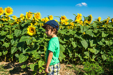 Boy standing in front of sunflower field, France