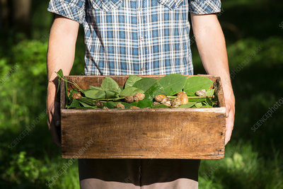 Man holding crate of foraged wild herbs and snails