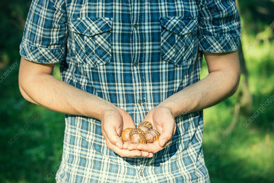 Man holding handful of foraged snails
