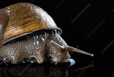 Close up of snail on black wet surface