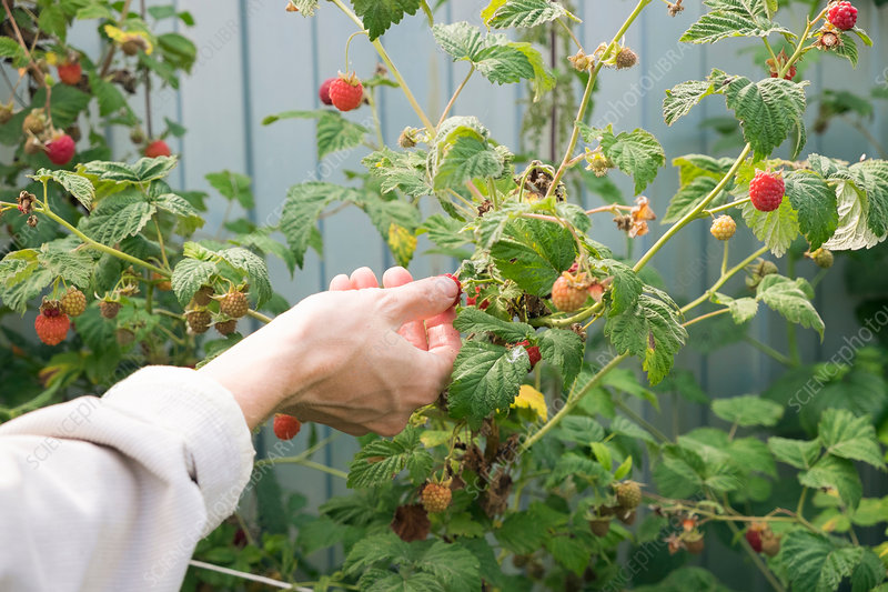 Woman picking raspberry from raspberry plant