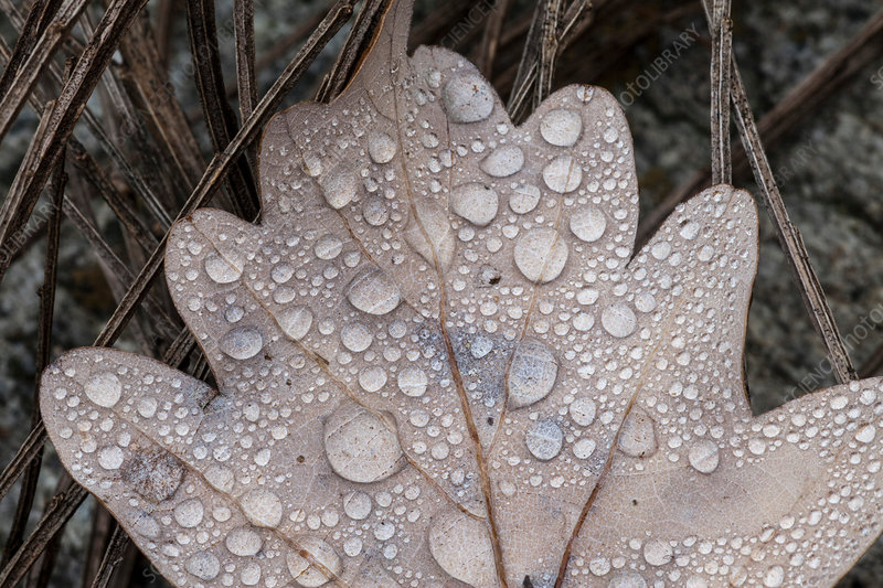Cropped close up of dew on autumn oak leaf