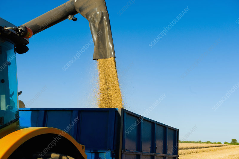 Combine harvester pouring harvested wheat