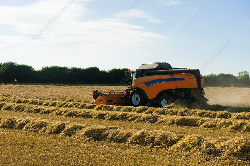Combine harvester harvesting in wheat field