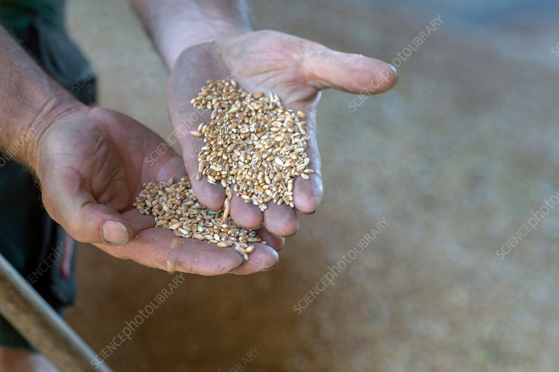 Hands of male farmer holding wheat