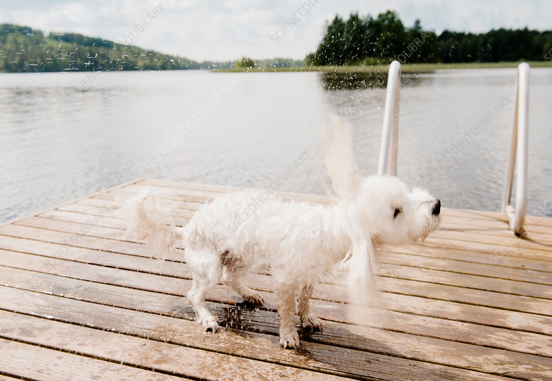 Wet dog shaking on pier after swimming, Finland