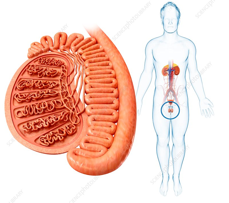 Male testis anatomy, illustration - Stock Image F017/9596 - Science ...