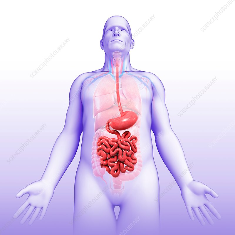 Male stomach and small intestine, illustration