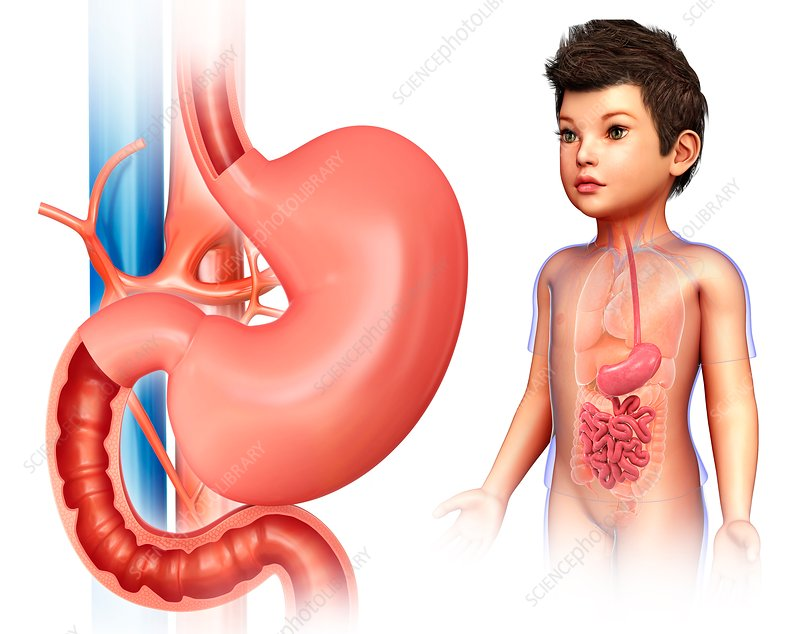 Child's stomach and intestines, illustration